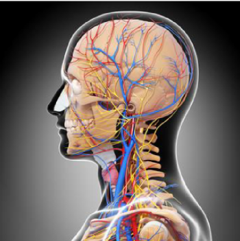 頭部の血管・神経